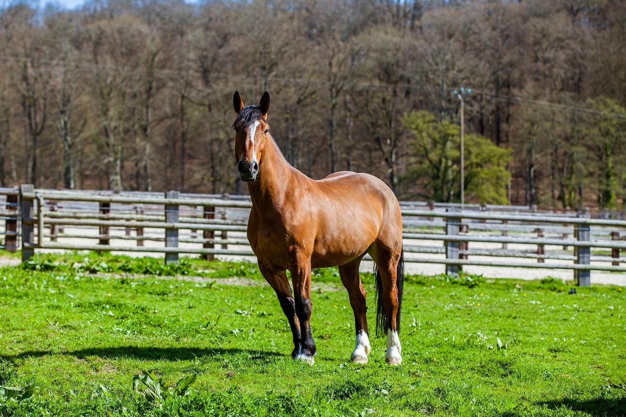 L'attention visuelle chez le cheval
