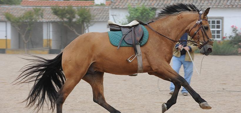 Appréhender le débourrage d'un cheval de sport