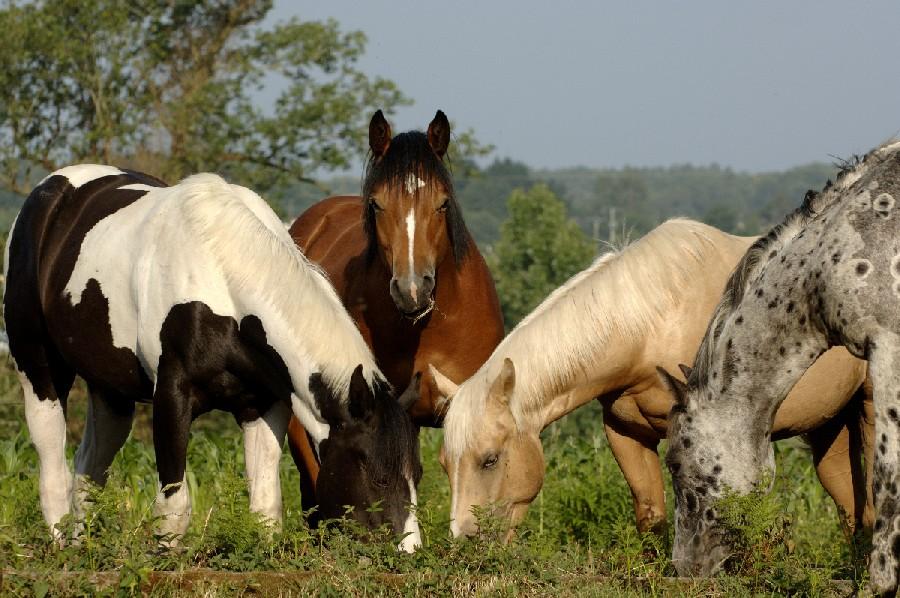 Définir la robe d'un cheval