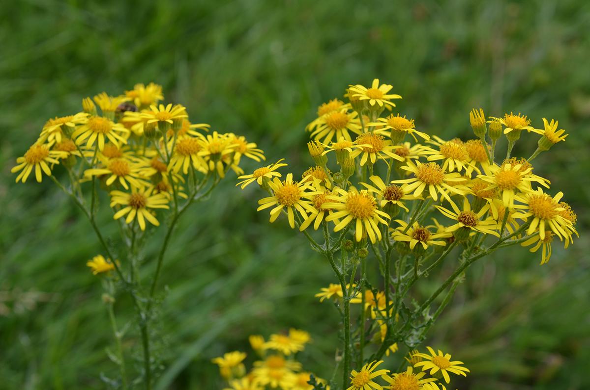 Le séneçon : plante toxique