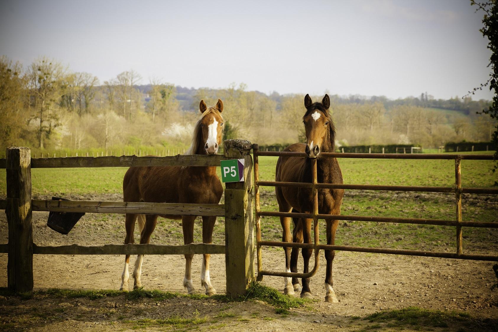 Gérer les périodes clés de la vie du jeune cheval