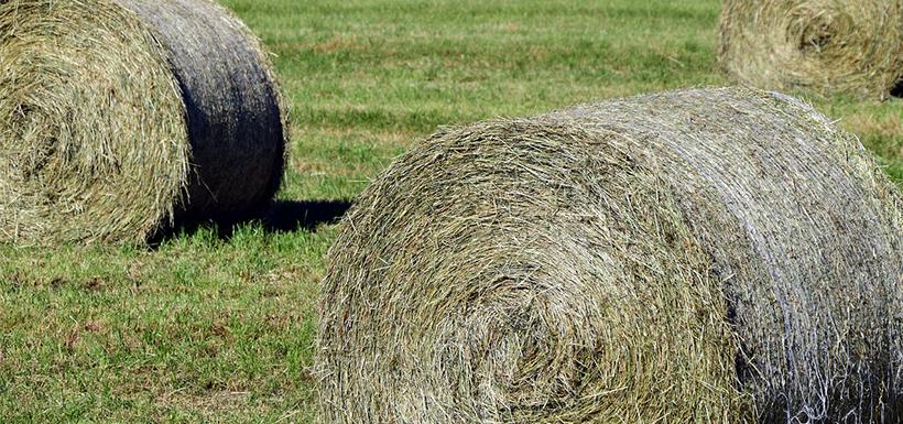 Le foin : fourrage de base chez le cheval