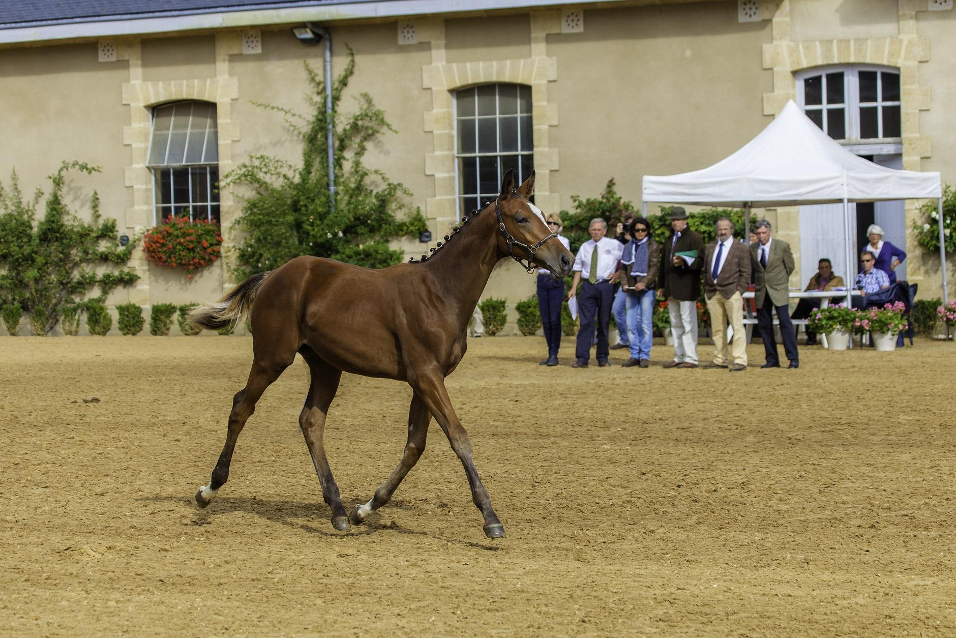 Concours d'élevage : présenter son cheval à l'examen des allures