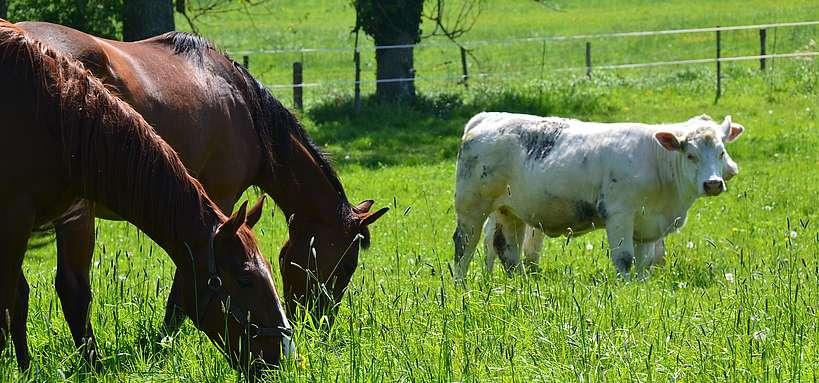 pâturage mixte équins-bovins © N. Genoux-Ifce