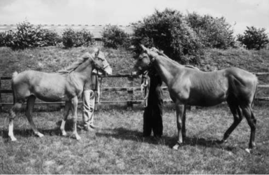 Croisement pur-sang dans poney