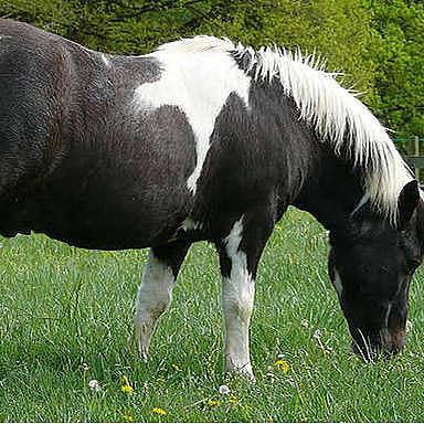Feeding behaviour of grazing horses