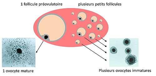 Ovaire équin contenant un follicule préovulatoire avec un ovocyte mature et plusieurs petits follicules avec un ovocyte immature