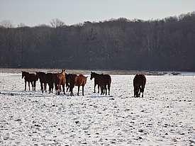 Troupeau de juments en hiver sous la neige