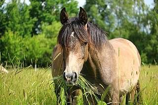 attention visuelle chez le cheval