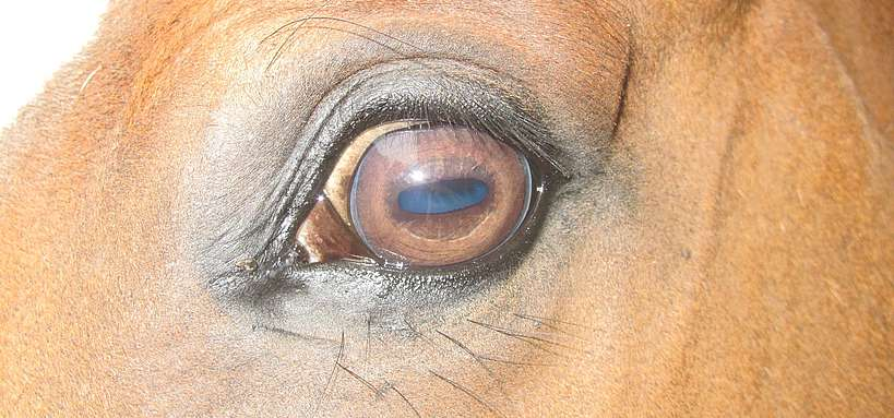 vision du cheval