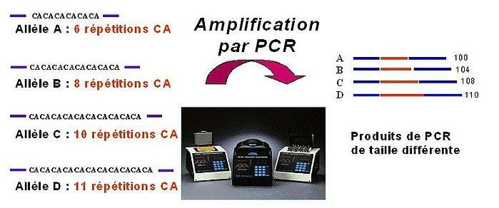 Exemple de 4 allèles détectés pour un microsatellite utilisé lors du typage ADN des équidés et schématisation des produits obtenus pour chacun des allèles. Source : Jean-Claude MERIAUX, LABOGENA