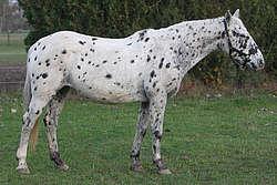 Noir léopard