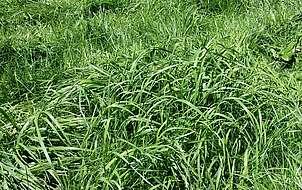 Pousse de l'herbe après apport d'azote minéral