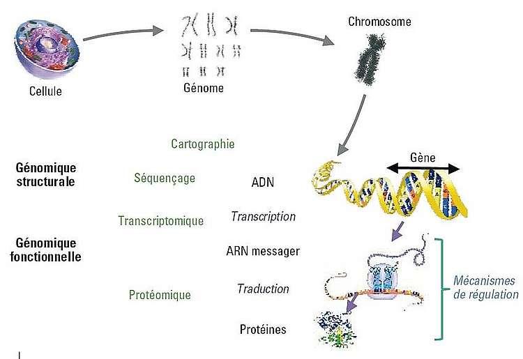 Du chromosome à la protéine : les différents types et outils de la génomique s'appliquent à toutes les étapes de l'utilisation du génome.
