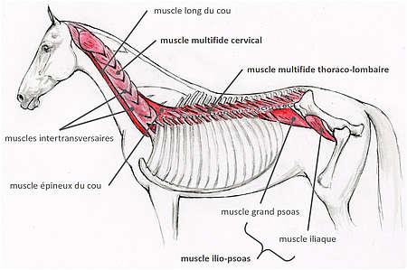 Musculature profonde du dos