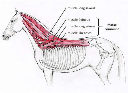 Muscles du dos après retrait de la couche musculaire la plus superficielle