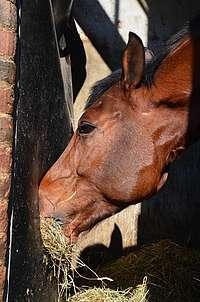 Cheval nez dans le foin, dans un compartiment clos. Augmente le risque d'asthme équin