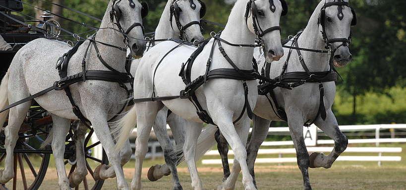 Attelage à quatre chevaux