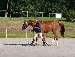 Présentation d'un cheval en main au pas