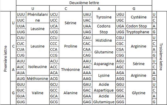 Combinaisons de 3 nucléotides aboutissant à la formation des 20 acides aminés de base