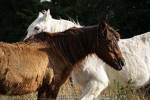 Vieux chevaux © P. Ritter