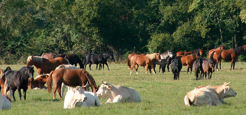 pâturage mixte équins-bovins
