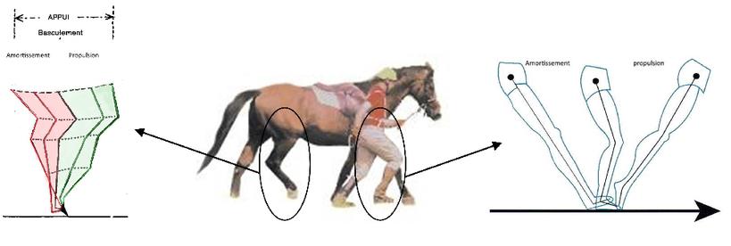 Schéma des deux phases d'appui d'un membre au sol, amortissement (décélération) puis propulsion (accélération) du cheval, à gauche et de l'homme, à droite.