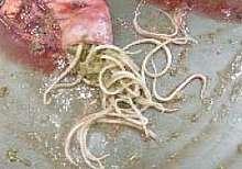 diarrhées du poulain
