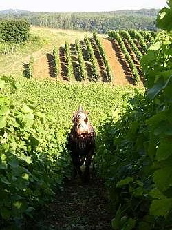 Travail dans les vignes avec un cheval