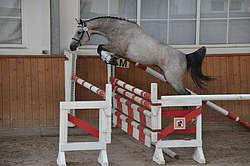 Saut en liberté pour un jeune cheval © N. Genoux