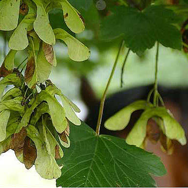 Equine Atypical Myopathy (EAM)