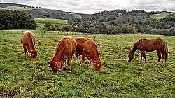 Pâturage mixte bovins-équins