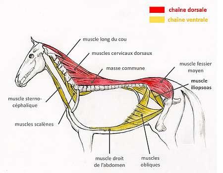 Muscles des chaînes dorsale et ventrale