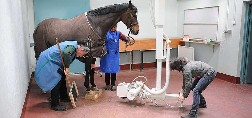 Radiographie des membres d'un cheval