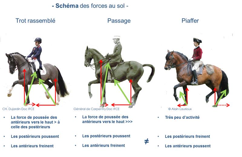 Schéma des forces au sol au trot rassemblé, passage et piaffer (Clayton,2013 ; Biau,2002 ; Weishaupt,2009)