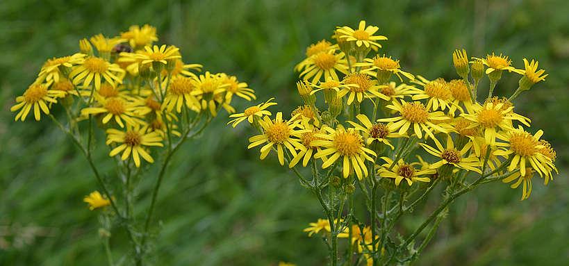 Fleurs de séneçon jacobée