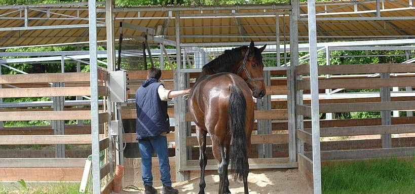 Installation d'un cheval au marcheur