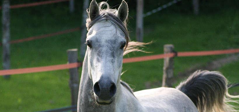 portrait cheval gris @Ifce