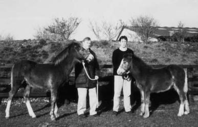 Croisement poney dans pur-sang