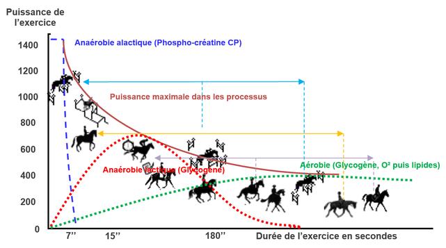 Exemple de contribution métabolique au travail selon l'intensité et la durée de l'exercice. Obstacle (flèche bleue), Dressage (flèche orange), Galop (flèche mauve).