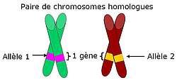 Paire de chromosomes homologues