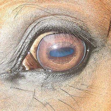 The horse's vision
