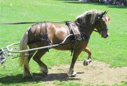 Cheval Comtois attelé