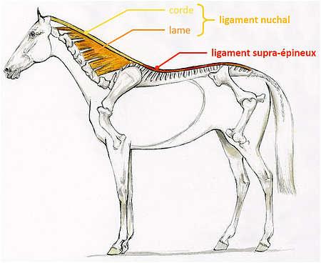 Système ligamentaire du dos