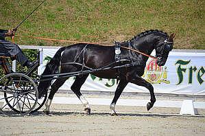 cheval lors d'une compétition d'attelage © N. Genoux