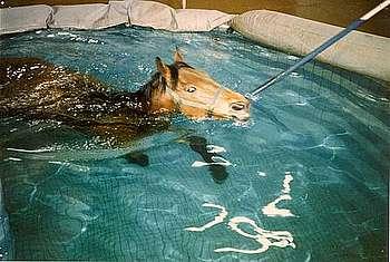 Cheval nageant en piscine (établissement de monsieur Jean Charles Pronko à Ballan-Miré). La nage permet une très bonne récupération et éventuellement un entraînement de substitution, cette piscine était utilisée par les chevaux de concours complet, mais aussi par des chevaux de course et de concours hippique. © P. Galloux