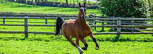 cheval cob au pré © A. Bassaler